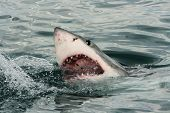 stock photo of apex  - Great white shark breaking the surface in South Africa - JPG