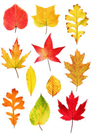 picture of fall leaves  - Collection of colorful autumnal leaves isolated on white background - JPG