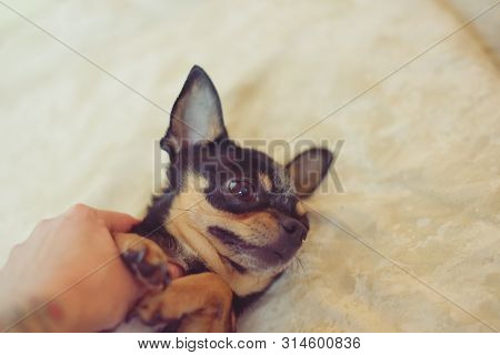 poster of Small Dog Chihuahua In The Girl's Hands