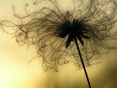 Dandelion In Twilight