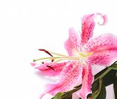stock photo of stargazer-lilies  - Pink stargazer lily flower in the corner of the frame against a white background - JPG