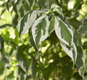 Bicolor Leaf Background