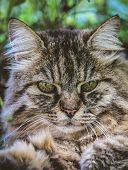Vertical Picture Of Adorable Tabby Cat Outdoors Lying On Grass. Cat Outside. Close Up Cat Head. Grey poster