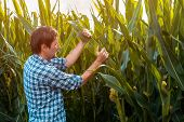 Corn Farmer Examining Crops In Field. Authentic Male Agronomist Is Controlling Development Of Green  poster