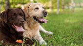 Cute Labrador Retriever Dogs With Toy Ball On Grass In Summer Park poster