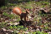 Cute And Furry Squirrel Is Standing On A Stump In City Park poster