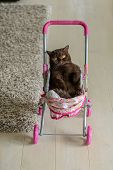 British Shorthair Cat Laying In Colourful Baby Stroller Indoors. Playful Domestic Cat Sitting In A T poster