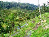 Terrazas de arroz Ner Ubud, Bali
