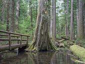 stock photo of mckenzie  - A wooden bridge spans mossy Tamolich Creek in Oregon - JPG