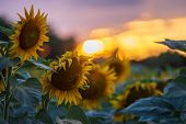 Sunflower Field With The Sun. Field Of Blooming Sunflowers On A Summer Sunset. Sunflower Natural Bac poster