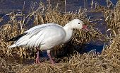 Snow Goose Foraging