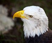 Closeup Of Head Of Bald Eagle
