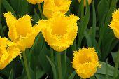 Hamilton Tulip