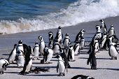 Pinguins africanos no Boulder Beach (África do Sul)