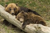 stock photo of bear cub  - cub sleeping on the trunk of a fallen tree beside mother bear - JPG