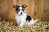 stock photo of epagneul  - Papillon puppy sitting on a straw on a background of wooden boards - JPG