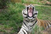 stock photo of leipzig  - Diese Tigerdame habe ich im Leipziger Zoo aufgenommen - JPG