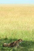Cheetah on Savannah