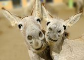 stock photo of burro  - Two cream colored donkeys pose with happy smiles on their faces - JPG