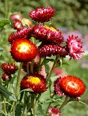 Red yellow purple Aster