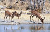 Black-faced impalas at a watering hole