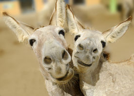 picture of burro  - Two cream colored donkeys pose with happy smiles on their faces - JPG