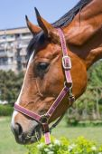 Leiter des Pferdes