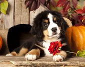 image of herding dog  - Bernese Mountain Dog puppy portrait - JPG