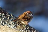 Tree Sparrow (Passer Montanus) Enjoy The Sunshine.
