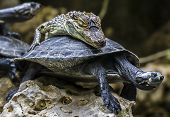 Baby-crocodile  Riding A Tortoise