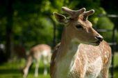 Close Up Fallow Deer Head