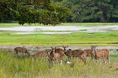 Herd Of Sri Lankan Axis Deer In Yala National Park