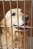Golden Retriever Dog In Cage At Veterinary Surgery