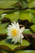 foto of sand lilies  - White lotus tilted side way on the pond - JPG