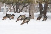 stock photo of wild turkey  - Wild turkeys walk thru snow in Fargo North Dakota USA - JPG