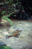 stock photo of komodo dragon  - komodo dragon in nature, Indonesia^ Bali island ** Note: Shallow depth of field - JPG