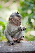 monkey in Ubud monkey forest, Bali