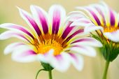 Tiger Striped Gazania Flower