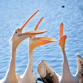 Pelican Competition