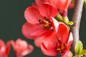 red flowers on the branches flowering chaenomeles