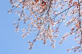 Sunlit Spring Blossoming Cherry Tree On The Clear Blue Sky