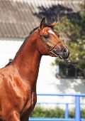 Portrait Of Beautiful Bay  Arabian Colt