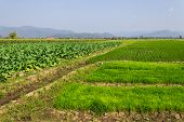 Tobacco Plants, Rice Field And Corn