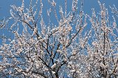 The Blossoming Apricot Tree As Background.