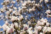 stock photo of saucer magnolia  - Details of a beautiful blossoming tree in spring the magnolia soulangeana - JPG
