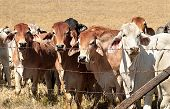 Barb Wire Fence Restraining Beef Cattle Cows On Australian Ranch