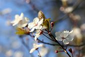 picture of japanese magnolia  - Blooming spring tree branch in the garden - JPG