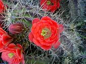 pic of xeriscape  - vivid bloom of claret cactus - JPG