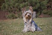 Yorkshire Terrier Outdoors.