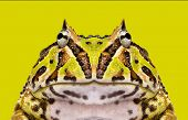 pic of pacman frog  - Close - JPG